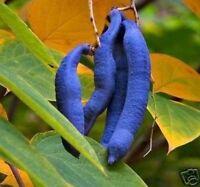 Gemüse ernten, frische Samen vom seltenen winterhart exotischen BLAUGURKENBAUM