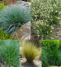 Decorative Grass Seeds - Ornamental Mixed Variety Grasses seed variety 300+