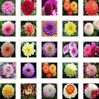 US-Seller Rare Beautiful Perennial Dahlia Flowers Seeds 20PCS Mix Color (C#)