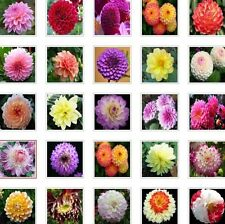 US-Seller Rare Beautiful Perennial Dahlia Flowers Seeds 100PCS Mix Color (C#)