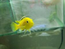 """Live Electric Yellow Lab, African Cichlid 3"""""""