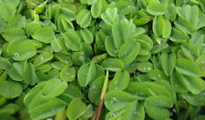 Salvinia natans - Floating Live Aquarium 5 Plants