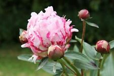 PEONY PLANT SARAH BERNHARDT BUDDED BAREROOT AGM-LACTIFLORA-SCENTED PERENNIAL