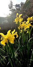 DUTCH IRIS 3 Bulbs RARE Tall Spikes 3-4ft Lg Bloom Sun Yellow Breautiful Accent
