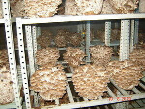 84gr/3(oz)SHIITAKE Mushroom ,Mycelium Spawn Dried Seeds for logs and supstrats