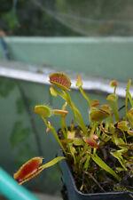 Plante de Dionaea Muscipula cultivar 'Spider'