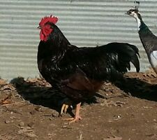 12+ NPIP **Heritage RI Red** fertile hatching eggs incubator