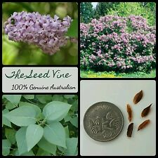 10+ COMMON LILAC TREE SEEDS  (Syringa vulgaris) Purple Scented Flowering Garden