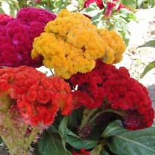 1000 pcs flower Seeds Cockscomb (Celosia Cristata) mix colors