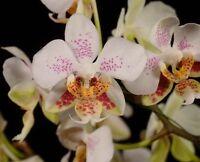 Rare orchid species seedling - Phalaenopsis stuartiana