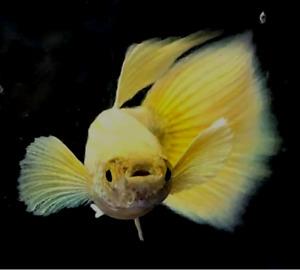 QUALITY GUPPY FISH  PREMIUM FULL GOLD 1 PAIR  (1MALE+1FEMALE)