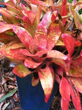 Bromeliad Neoregelia 'Speckle Ox Blood' 1 Mature Plant.