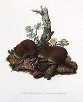 Impression Affiche Art Histoire Naturelle le Campagnol Roussâtre Clethrionomys
