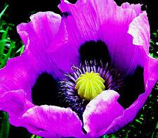 5000 Purple Giganthemum Poppy Seeds (Papaver Somniferum)