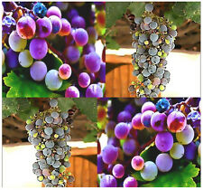 (20) California wild grape Fruit Seeds - Vitis californica - Combined S&H