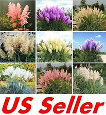 200 Seeds Pampas Grass G2, Mixed Colors Purple, Pink, Cream, Orange Cream White
