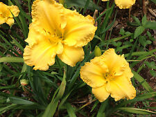 Daylily Butterfly Ballet yellow hemerocallis Perennial ~ Df or 2 Plants