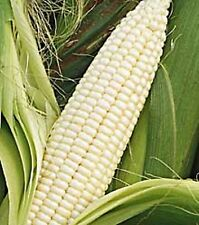 Heirloom Non-GMO STOWELL'S EVERGREEN SWEET WHITE CORN❋100 Seeds❋Hardy❋Productive
