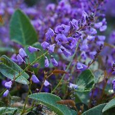 100x Purple Hardenbergia violacea native fast climb flowers plants in 40mm  pots