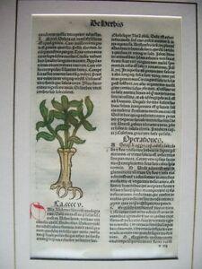 1491-TRACTATUS DE HERBIS.PLANTS.JACOB MAINZ. INCUNABLE INCUNABULA ORIGINAL SHEET