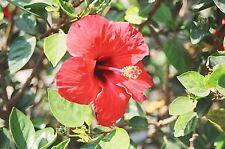 15 Samen Hibiscus sabdariffa - Roselle , Afrikanische Malve