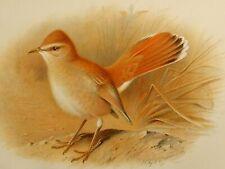 Art Prints 1910 British Warblers Print Male Reed Warbler ~ GrÖnvold