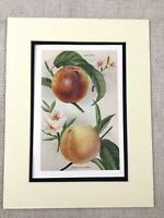 1892 Antique Botanical Print Garden Fruits Peach Peaches 19th Century Original