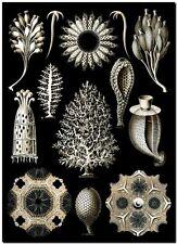 "ERNST HAECKEL CANVAS PRINT Art Nouveau Sea Life Form 24""X 18"" Calcispongiae"