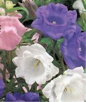 Cup & Saucer- Mix colors- 100 Seeds - BOGO 50% off SALE