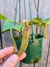 Nepenthes truncata X vogelii Carnivorous pitcher