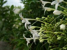 50 Fragant Millingtonia Hortensis Jasmine Cork Tree Rare Seeds Exotic 2017