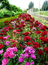 Sweet William Single Mixed Approx 2000 seeds