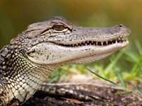 ANIMAL NATURE ANIMAL ALLIGATOR REPTILE TEETH SCALES POSTER ART PRINT BB2976A