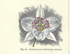 Stampa antica FIORI ORCHIDEA ODONTOGLOSSUM CERVANTES botanica 1896 Antique print