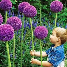 Special Purple Giant Allium 10 Seeds Garden Flower Perennial Plant Seed Bulbs