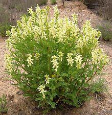 SEEDS 15 graines d' ASTRAGALE (Astragalus Membranaceus) HUANG QI MILK VETCH