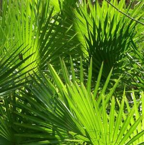 Serenoa repens (green leaves) - Saw palmetto palm - 10 Seeds