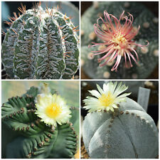 100+FRESH Astrophytum rare mix seeds capricorne onzuka myriostigma kikko kabuto
