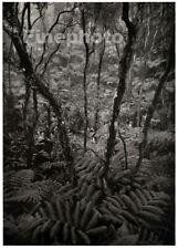 1949 Original ANSEL ADAMS Kilauea Hawaii Fern Forest Landscape Photo Art 16X20