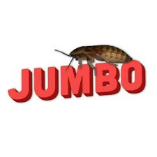 """100 Jumbo Extra Large Blaptica Dubia Roaches, Water Crystals, 1.25"""" plus! Huge"""