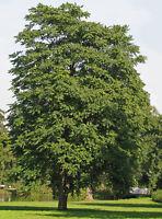 """Götterbaum / Ailanthus altissima 30 Samen """"ALLES NUR 1 EURO"""""""