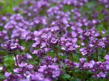 thyme, CREEPING THYME, WALK ON ME, 880 SEEDS! GroCo*