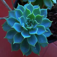 Best 200PCS New Good Fast Grow Sempervivum Cactus Cold Hardy Seeds Succulents