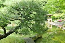 Die Japanische Schwarzkiefer wird gerne als Freiland-Bonsai gezogen.