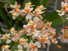 Oncidium Tsiku Marguerite - Miniature Fragrant Orchid Plant in SPIKE