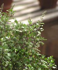 Ocimum sanctum HOLY BASIL Herb Seeds!