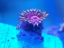 New listing Live Aphrodite Zoa Zoanthid Coral Frag, 3 Polyp