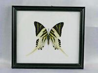 Giant Swordtail - echter Schmetterling im Schaukasten aus Holz - neu - 20x17cm