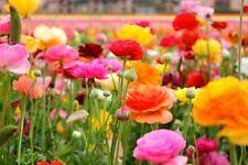100 Seed Ranunculus asiaticus Buttercup Flowers Beautiful Plants in Decor Garden