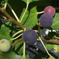 """4 Fig Trees Fruit Chicago Hardy Live Plant Four Plants Garden Outdoor 2"""" Pot"""